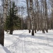 Ski track in winter birch forest — Stock Photo