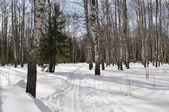 Ski track in winter birch forest — Stock Photo