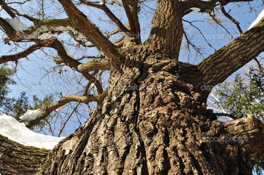 Close up of knotty oak trunk with snow in winter forest — Foto Stock #2786506