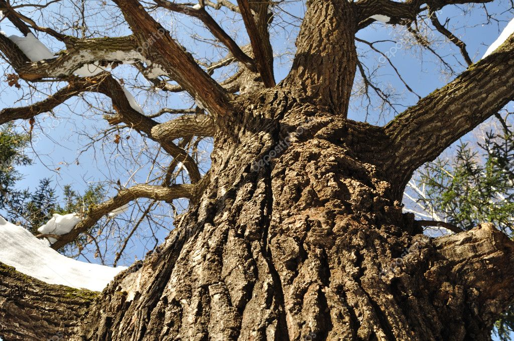 Close up of knotty oak trunk with snow in winter forest — Stock Photo #2786506