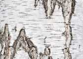 Birch tree bark texture — Stock Photo