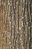 Old tree bark texture with lichen — Stock Photo