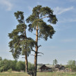 Stock Photo: Solitary pine tree at village outskirts