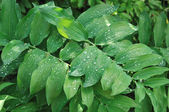 Green leaves with rain drops — Stock Photo