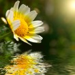Royalty-Free Stock Photo: Camomile over water surface