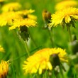 Yellow dandelions — Stock Photo #3204320