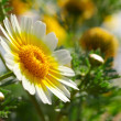 Chamomile — Stock Photo #3440047