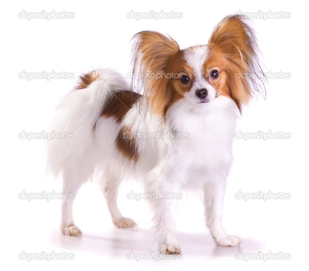 Dog of breed papillon isolated on a white background — Stock Photo #2728557