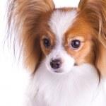 Dog of breed papillon — Stock Photo