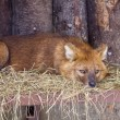 Dhole - Stock Photo