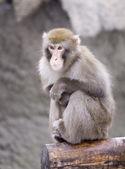 日本猕猴 — 图库照片