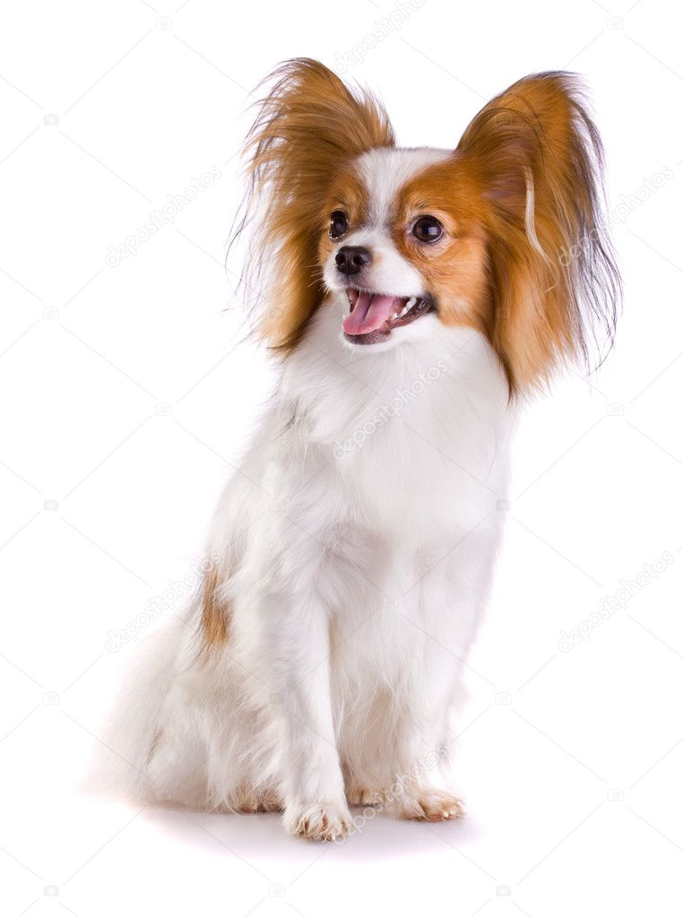 Dog of breed papillon isolated on a white background  Stock Photo #2792077