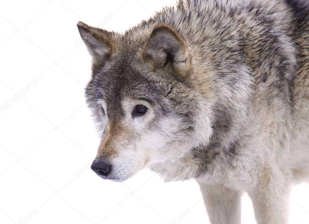 Если волки кусают во сне