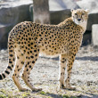 Cheetah — Stock Photo #3183649