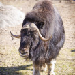 Musk Ox — Stock Photo #3231571
