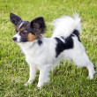 Dog of breed papillon — Stock Photo