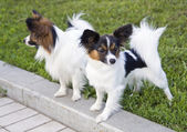 Dogs of breed papillon — Stock Photo