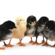Chicks — Stock Photo
