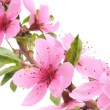 Peach Blossoms — Stock Photo #3038138