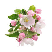 Apple Blossoms. — Stock Photo