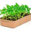 Seedlings pepper - Stock Photo