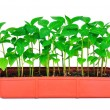 Seedlings pepper — Stock Photo