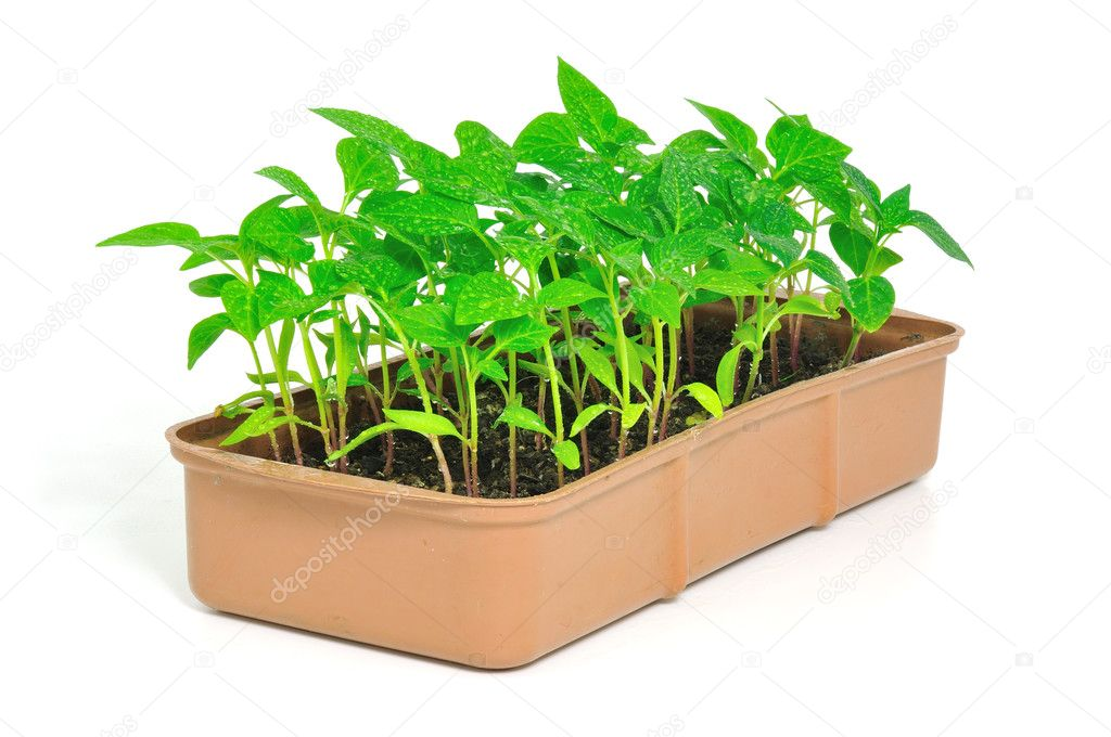 Garden pepper cress in tray isolated on white. — Stock Photo #3122258