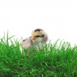 Chick in grass - Stockfoto