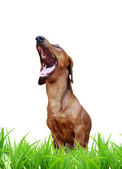 Laughing dog — Stock Photo