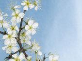 White blackthorn flowers — Stock Photo
