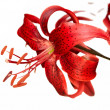 Red tiger lily — Stock Photo #3826337
