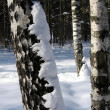 Birch in snow — Stock Photo