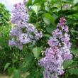 Blossoming lilac brush — Stock Photo