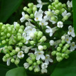 White lilac — Stock Photo #3599094