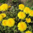 Yellow dandelions — Stock Photo #3601587