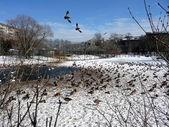 Ducks on the pond — Stock Photo