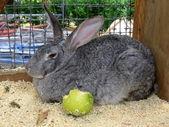 Rabbit with apple — Stock Photo