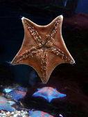 Denizyıldızı — Stok fotoğraf