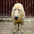 Stock Photo: Tibettakin