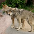 Two wolves — Stock Photo