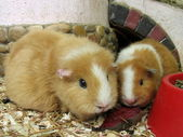 Guinea pigs — Stock Photo