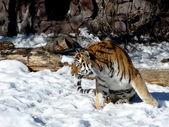 Bewegende tijger — Stockfoto