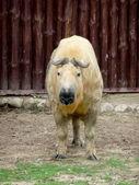 Tibetan takin — Stock Photo
