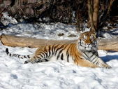 Tiger on the snow — Stock Photo