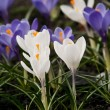 Blue and white crocus — Stock Photo