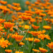 Field of orange wild flowers — Stock Photo