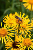 Honeybee on Yellow Flower — Stock Photo