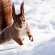 Squirrel in a jump — Stock Photo