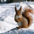 Cute squirrel — Stock Photo