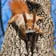Red Squirrel hanging on tree - Stockfoto